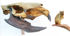 Fossil Rat